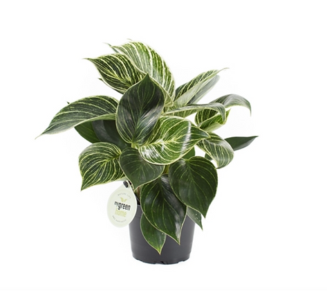 Philodendron 'White Measure' D11