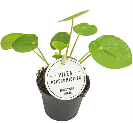 Pilea Peperomides D8