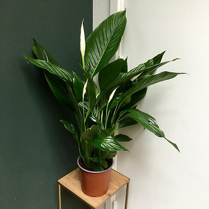 Spathiphyllum D17x70cm