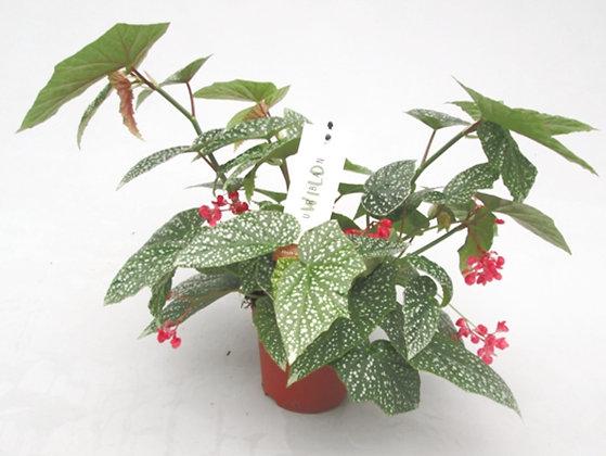 Begonia Snowcap D17 (40cm hoog)