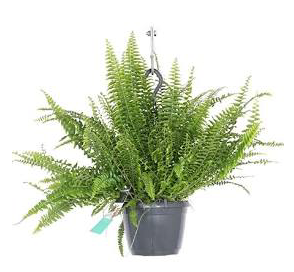 Nephrolepsis Green Moment D 19cm