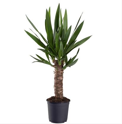 Yucca D24x85cm