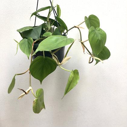 Philodendron Scandens D 15cm
