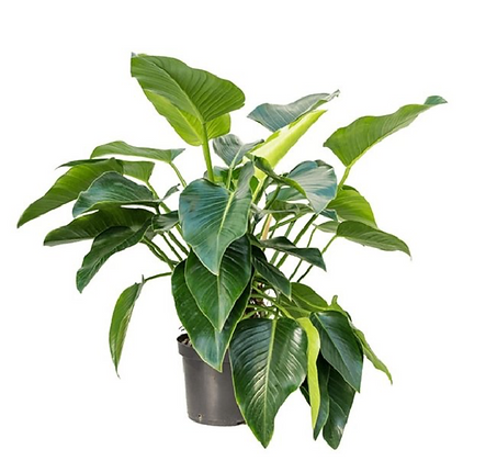 Philodendron Green Beauty D32