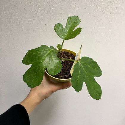Organic Fig Tree D12