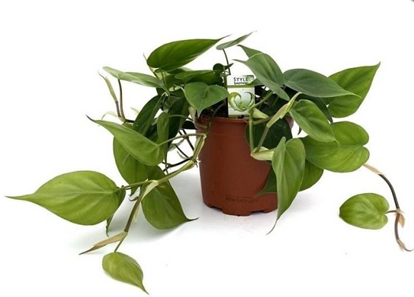 Philodendron Scandens D15