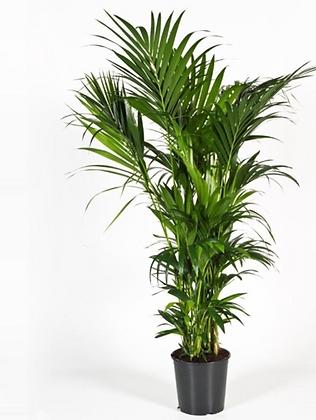 Kentia Palm D27x200cm