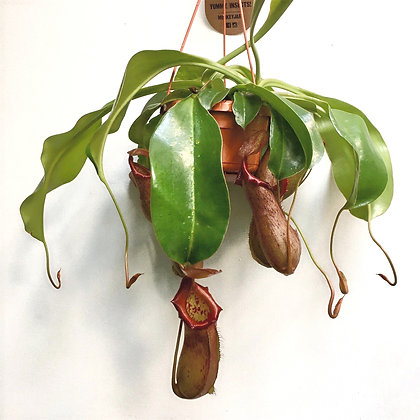 Nepenthes D14