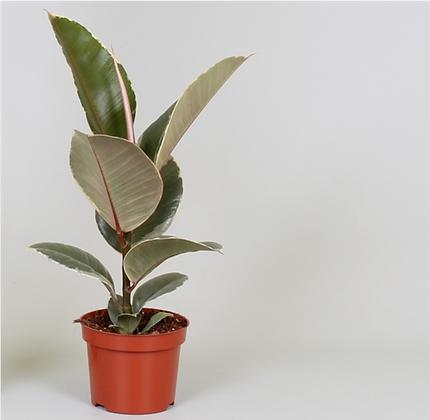 Ficus Elastica Tineke D 12cm