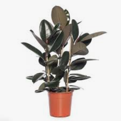 Ficus Abidjan D24x80cm