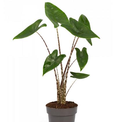 Alocasia Zebrina D17x65cm