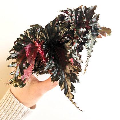 Begonia Pink D6