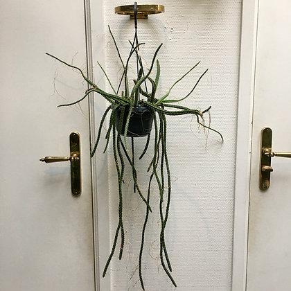 Aporocactus D15