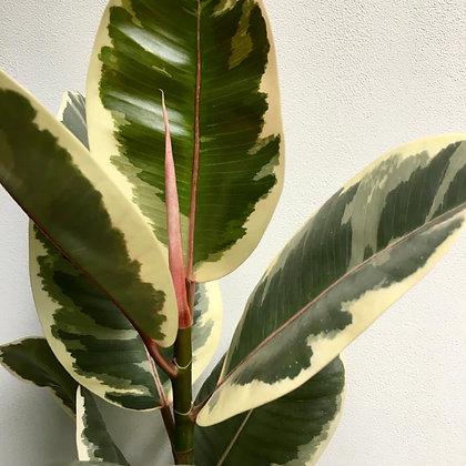 Ficus Tineke D17x50cm