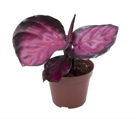Calathea Rosea Picta Rosey D6cm