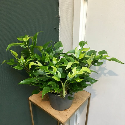 Philodendron 'Trophy' D17