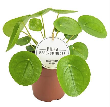 Pilea Peperomides D 13cm