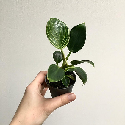Philodendron 'White Measure' D6