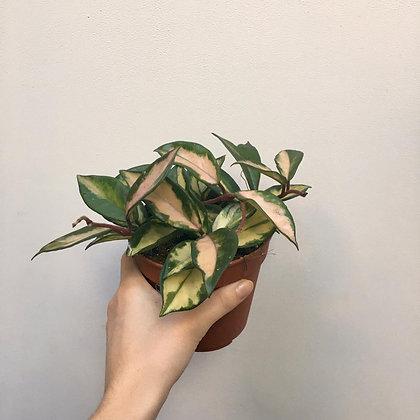 Hoya Carnosa Tricolor D 12cm