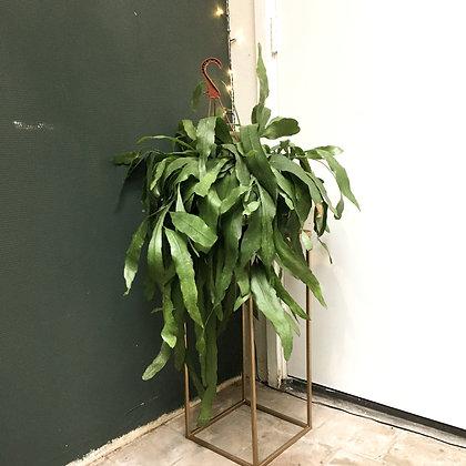 Epiphyllum Pumilum D21