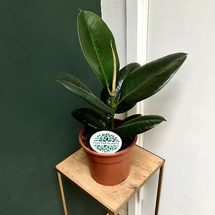 Ficus Elastica D17x50cm