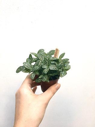 Fittonia D 5.5cm