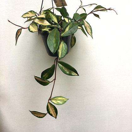 Hoya Carnosa Tricolor D 15cm
