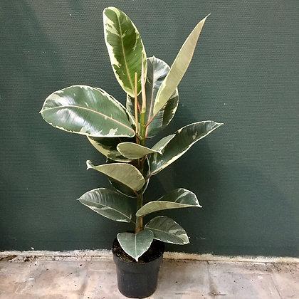 Ficus Tineke D17