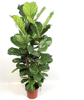 Ficus Lyrata D27x170cm