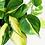 Thumbnail: Philodendron Scandens Brasil D 12cm