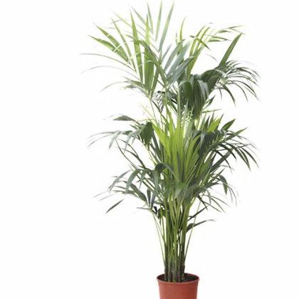 Kentia Palm D21x90cm