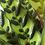 Thumbnail: Calathea Insignis D17x60cm