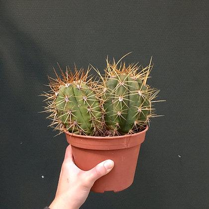 Cactus D15