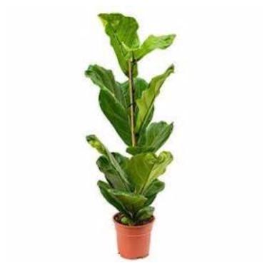Ficus Lyrata D21cm (+/-110cm)