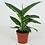 Thumbnail: Dieffenbachia Green Magic D 12cm