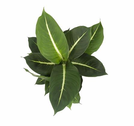 Dieffenbachia Green Magic D 12cm