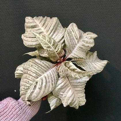 Aphelandra 'White Wash' D12