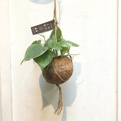 Kokodama Philodendron D12