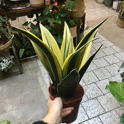 Sansevieria Golden Flame D 14cm