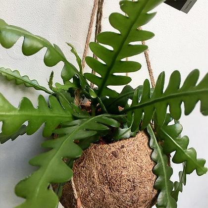 Kokodama Epiphyllum Angulier D17