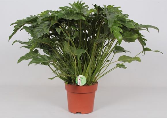 Philodendron 'Xanadu' D21
