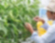 万願寺甘とうの栽培