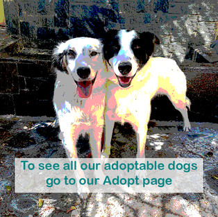All Adoptable Dogs