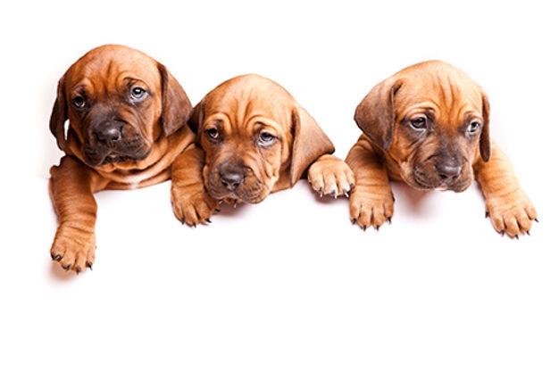 Three Puppies Border small.jpg