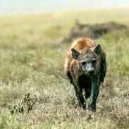 hyena after a mudbath