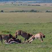 cheetah chasing off the hyena