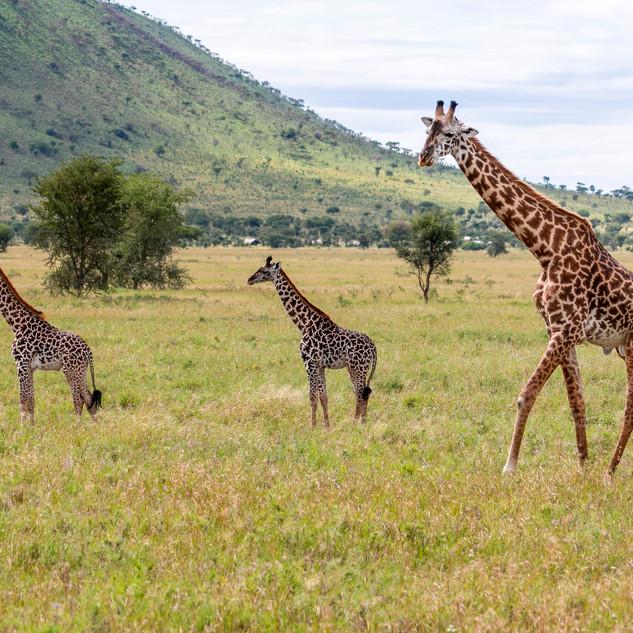 giraffe and babies