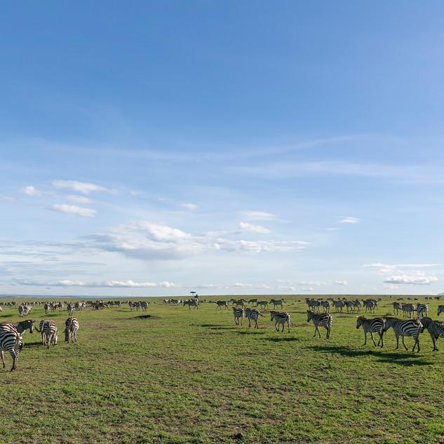 endless zebras