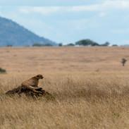 cheetah on a termite mound