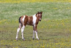 Foal in a dandelion field